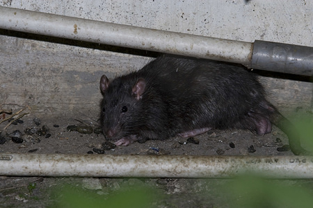 Illustration about leptospirosis in Indonesia  Rats populate rural and urban settings. Rodents urine transmit leptospirosis. Gadok, Kedoya Utara, West Jakarta,