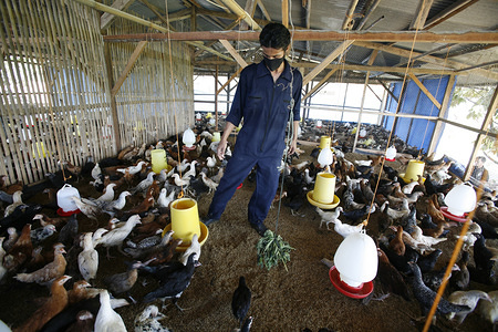 Illustration about avian influenza in Indonesia  Spreading the bedding in Mr Ade's chicken house Sadamukti Village.