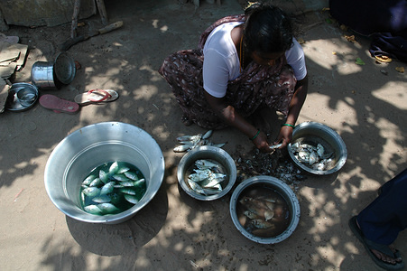 A woman cleaning fish  Over 15,000 people died in India when a tsunami struck the coasts of India on December 26, 2004. Worst affected was the coastal district of Nagapattinam, which alone saw the deaths of nearly 7000 people. The health infrastructure was severely damaged in many places like Nagapattinam where the over 400 bedded Government General Hospital itself was flooded. Many health sub-centers and primary health centers also took a beating in the tsunami. Despite such a severe beating, fortunately no communicable disease outbreaks happened in the post-tsunami period as was widely feared. Clean drinking water was made available within days and now all those affected by the tsunami have been moved into temporary shelters. Since then many organizations including the World Health Organization (WHO) through the government has been rebuilding the devastated health infrastructure. A Herculean task is under way to bring back normalcy in the lives of those affected by the tragedy. Very active psychosocial counseling is being imparted to reduce the mental trauma the victims are undergoing.