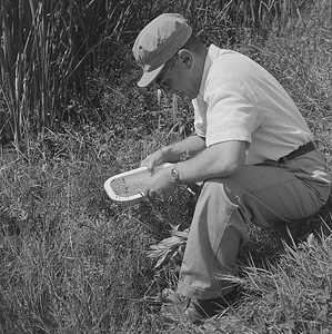 """A malaria control engineer """"pans"""" for the eggs of the malaria-bearing type mosquito in a swamp outside of Athens."""