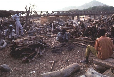 A fuelwood market in Maroua. Bacillus sphaericus is being sprayed in the town to control Culex mosquitos. Inhabitants can be bitten several hundred times a night during the wet season, although the mosquitos do not carry disease in the city. The insects breed in stagnant water in latrines, drains and ditches.